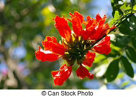 Pictures of African Tulip Tree flower on black background.