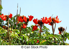 Picture of African Tulip Tree in flower on Maui, Hawaii csp3539657.