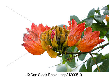 Stock Photography of Decorative african tulip tree flower ,flame.