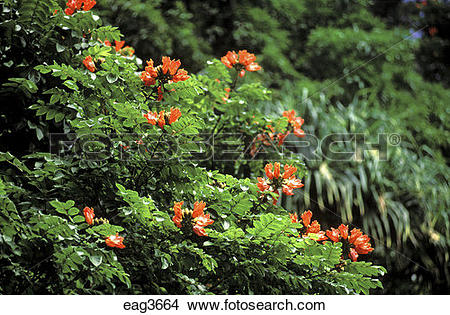 Stock Photo of The bright red blooms of the AFRICAN TULIP TREE.