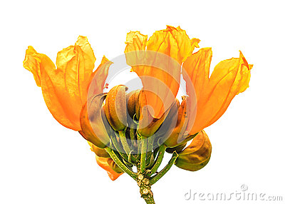 Spathodea Flowers,African Tulip Tree, Fire Bell Stock Photo.