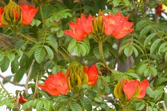Flowering African Tulip Tree Royalty Free Stock Photography.