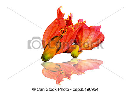 Stock Images of African Tulip Tree flower on white background.