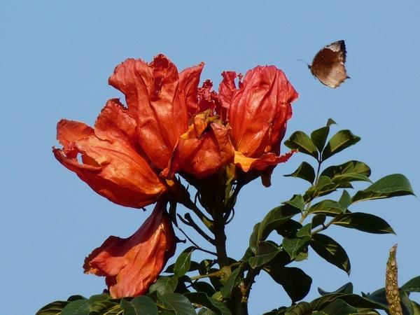 Tulip tree african tulpenbaum butterfly Free stock photos in JPEG.