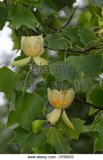 Tulip Tree Stock Photos & Tulip Tree Stock Images.