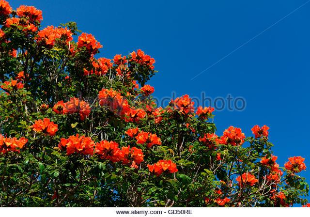 Spathodea Campanulata African Tulip Tree Stock Photos & Spathodea.