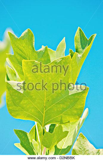 Tulip Tree Leaf Stock Photos & Tulip Tree Leaf Stock Images.