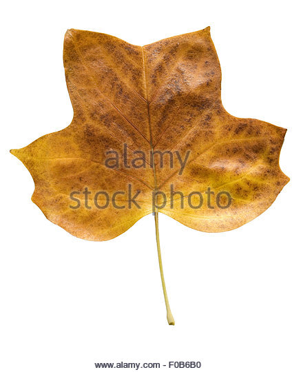 Tulip Tree Cut Out Stock Images & Pictures.