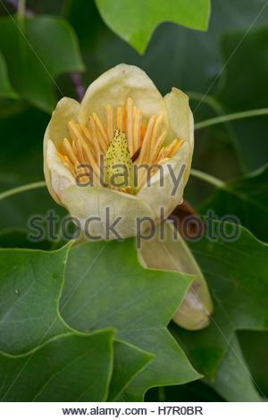 African tulpenbaum clipart #14