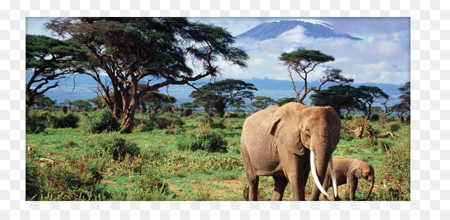 African bush elephant The African elephant Asian elephant.