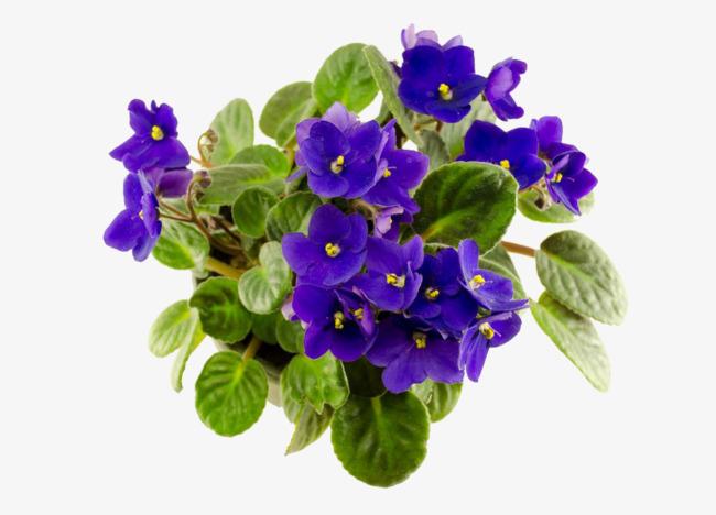 Potted Violets, Real, African Violet, Fl #31457.