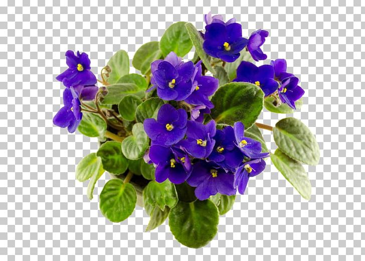 African Violet Photography PNG, Clipart, African Violet, African.