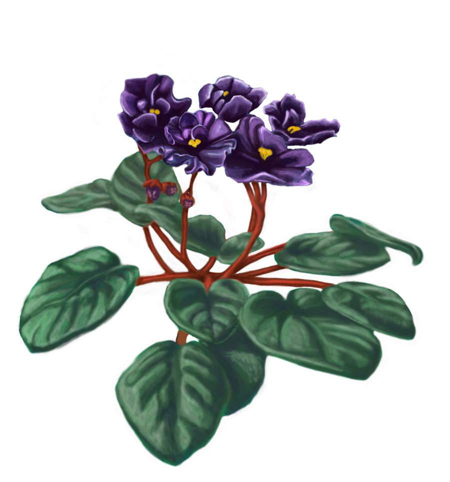 Download african violet draw clipart Violet Drawing Clip art.