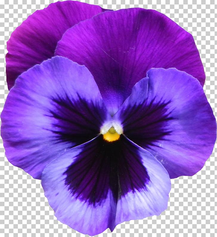 Sweet violet African violets Purple , Violet Flower s PNG.