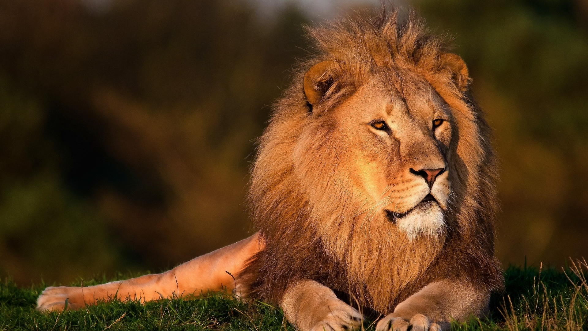 Download Lion African Face Wide S Wallpaper.