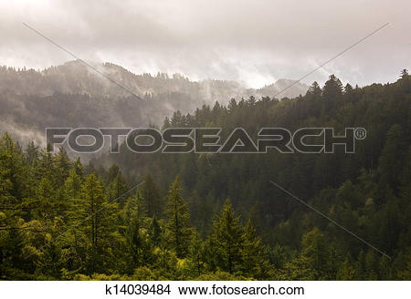 Stock Photo of Misty Evergreen Forest after Storm k14039484.