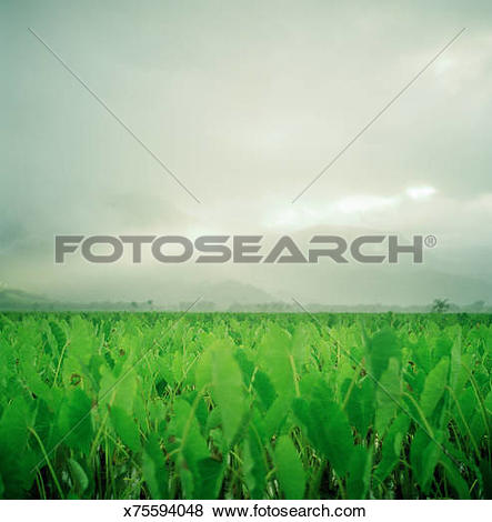 Pictures of Flooded taro field after storm x75594048.