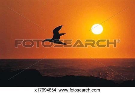 Stock Photo of Flight, Animal, Dusk, Cape Gannet, Bird, Afterglow.