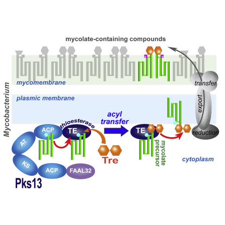 The Polyketide Synthase Pks13 Catalyzes a Novel Mechanism of Lipid.