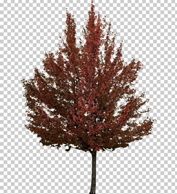 Twig Tree Autumn Japanese Maple PNG, Clipart, Agac, Agac Resimleri.
