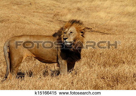 Stock Image of Lion Standing Against the Wind k15166415.