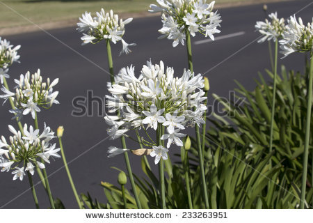Amaryllidaceae Stock Photos, Images, & Pictures.