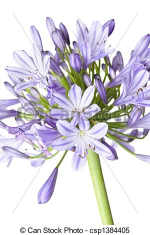 Stock Images of Agapanthus.