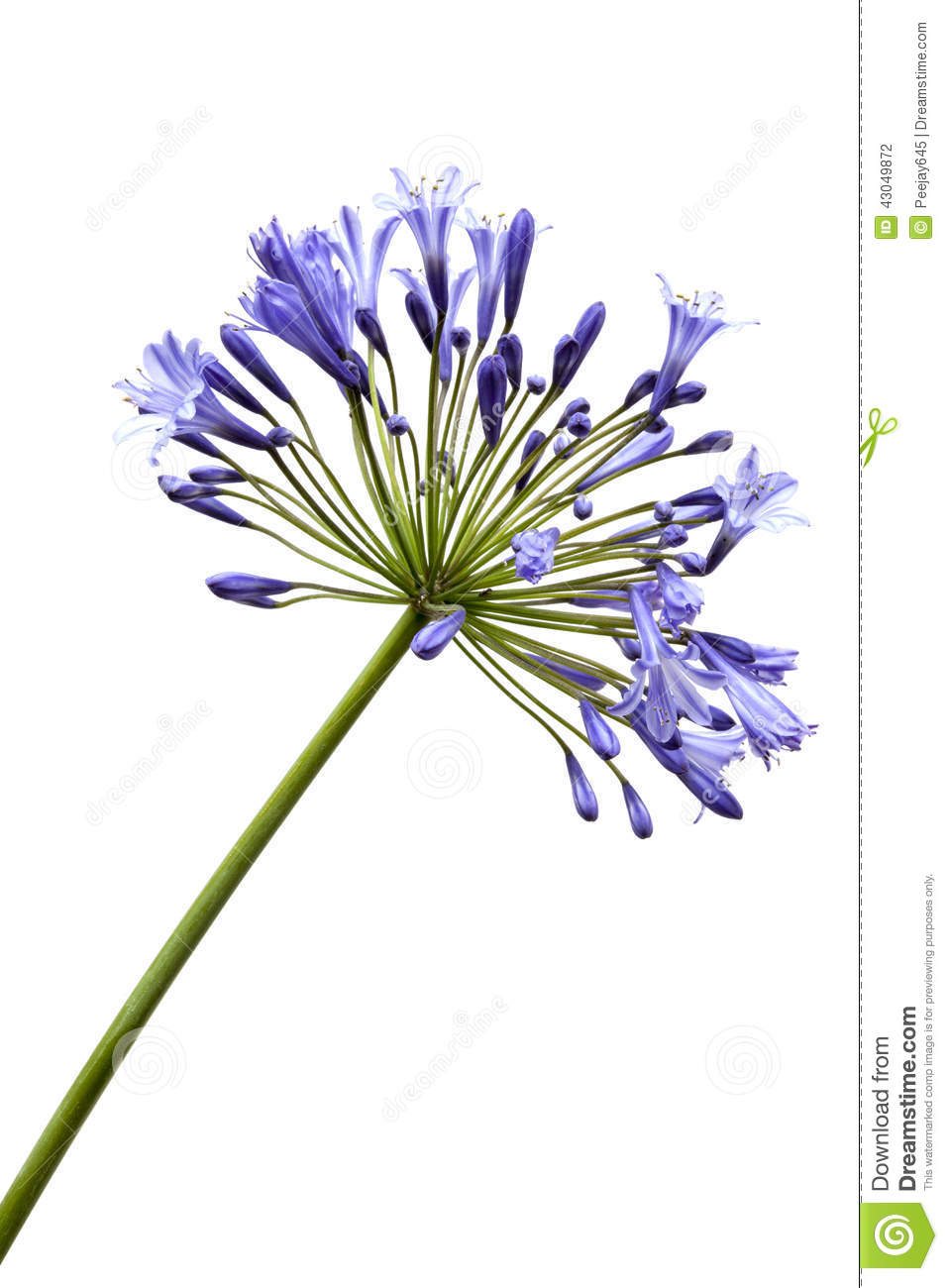 Agapanthus Stock Photo.