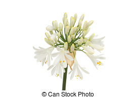 Agapanthus Illustrations and Clip Art. 13 Agapanthus royalty free.