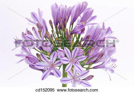 Stock Image of Agapanthus umbellatus cd152095.