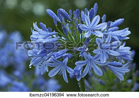 Stock Photo of Agapanthus flower (agapanthus) with raindrops.