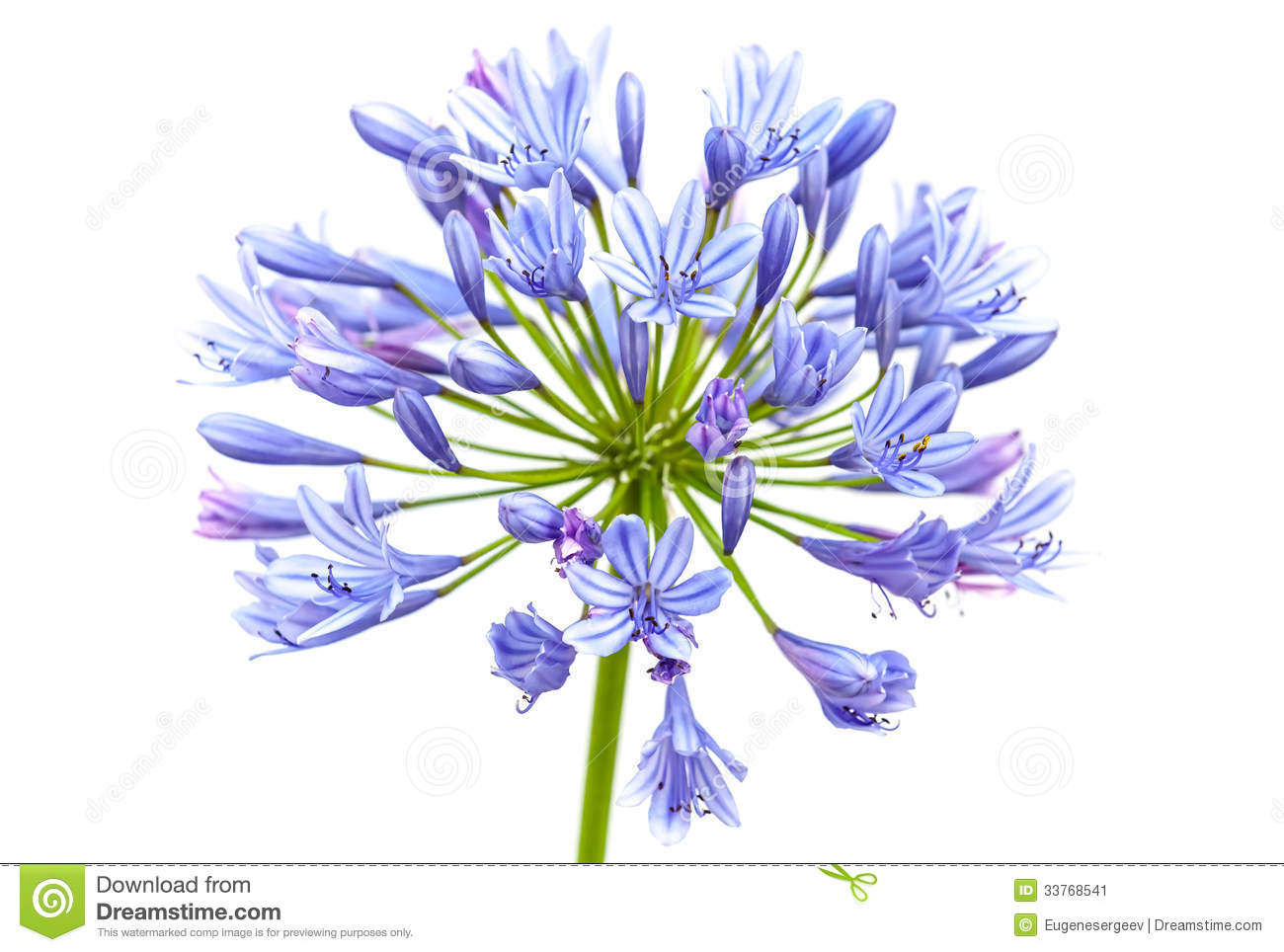 Agapanthus Flower Stock Photo.