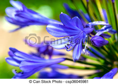 Pictures of Agapanthus flower csp36045981.