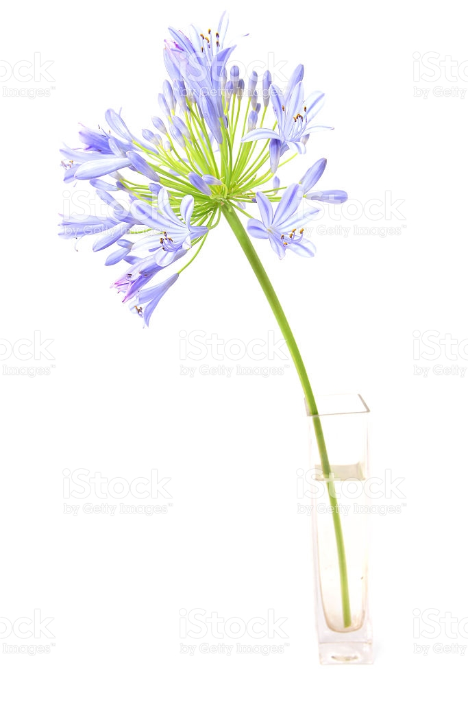 Agapanthus Flower stock photo 535229059.