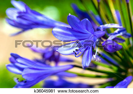 Stock Photography of Agapanthus flower k36045981.