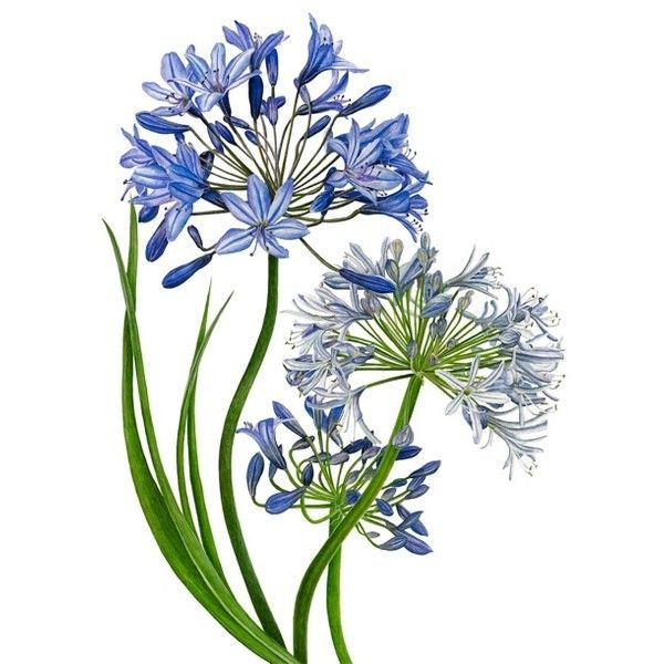1000+ images about Agapanthus photo and art on Pinterest.