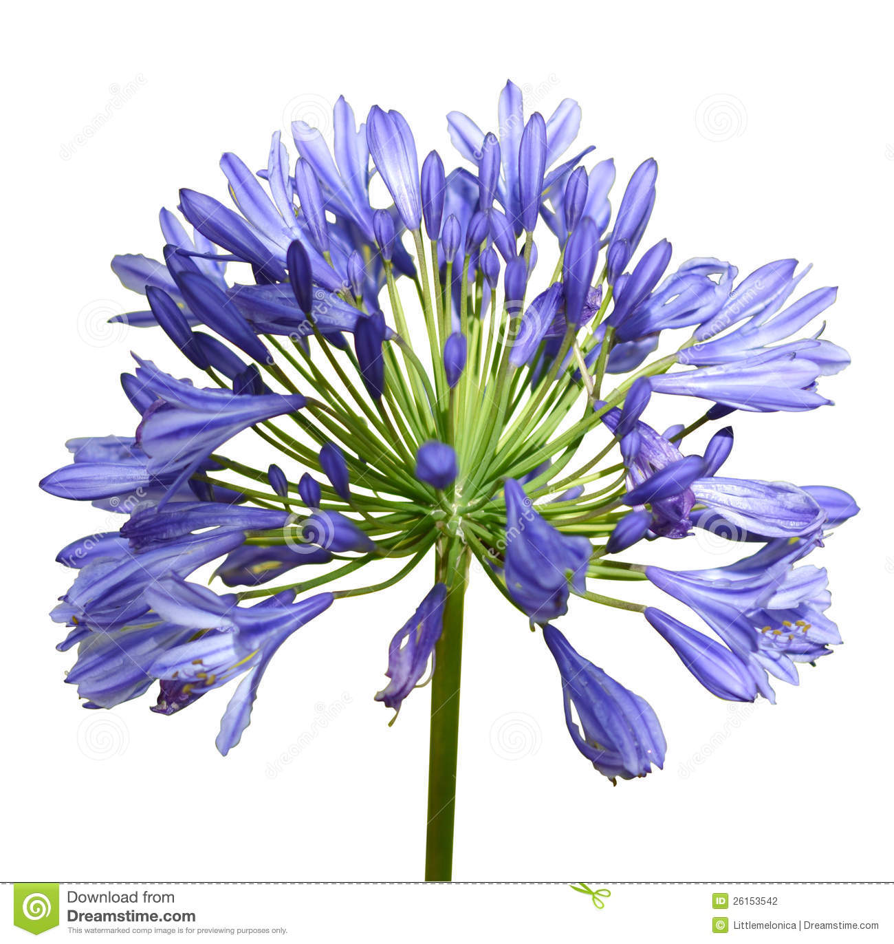 Agapanthus Stock Photography.