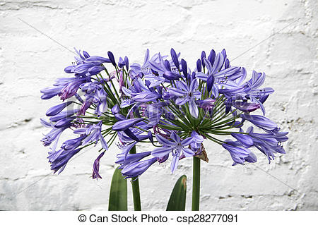 Stock Photographs of Agapanthus flower on brick wall background.
