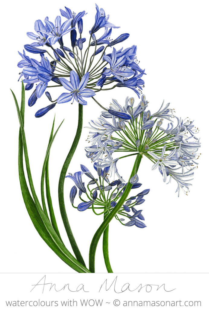 Agapanthus Png Vector, Clipart, PSD.