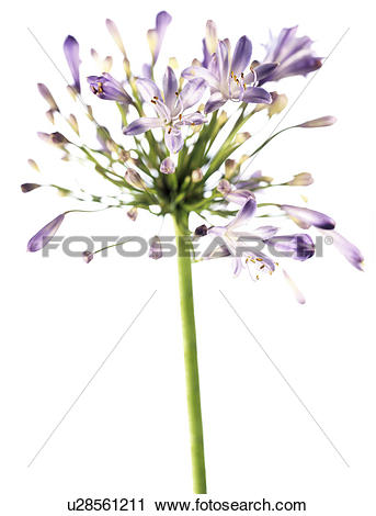 Stock Photography of African blue lily (Agapanthus sp.) u28561211.