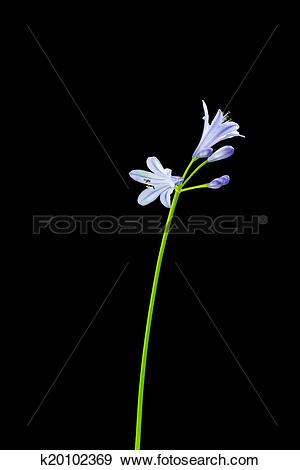 Stock Photograph of Agapanthus stem with purple flowers on black.