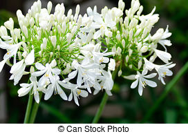 Agapanthus Images and Stock Photos. 330 Agapanthus photography and.