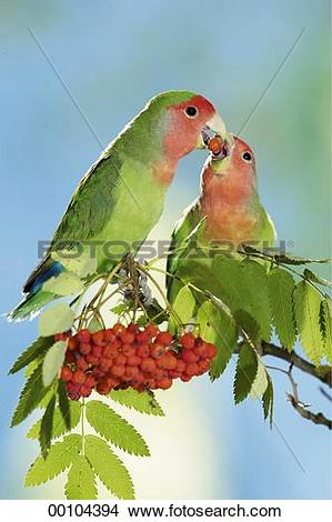 Stock Photo of berries, Agapornis roseicollis, animals, animal.