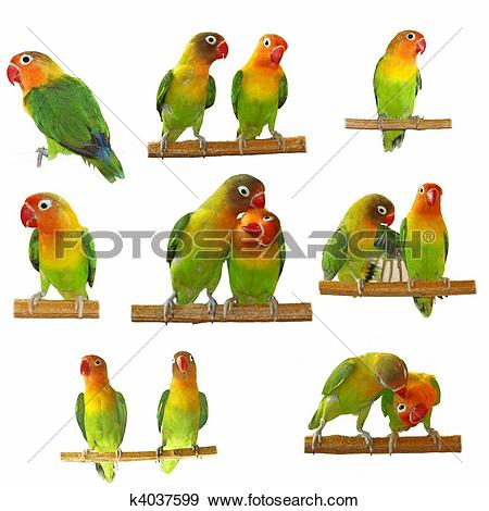 Stock Photograph of Set lovebirds agapornis.