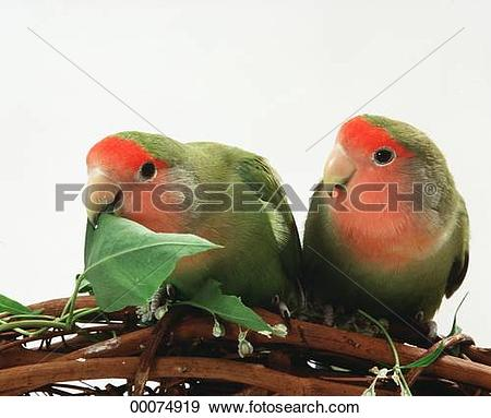 Stock Photograph of animal, Agapornis, african, Juniors, Agapornis.