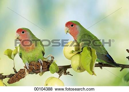 Pictures of apple, Agapornis roseicollis, animals, animal, Juniors.