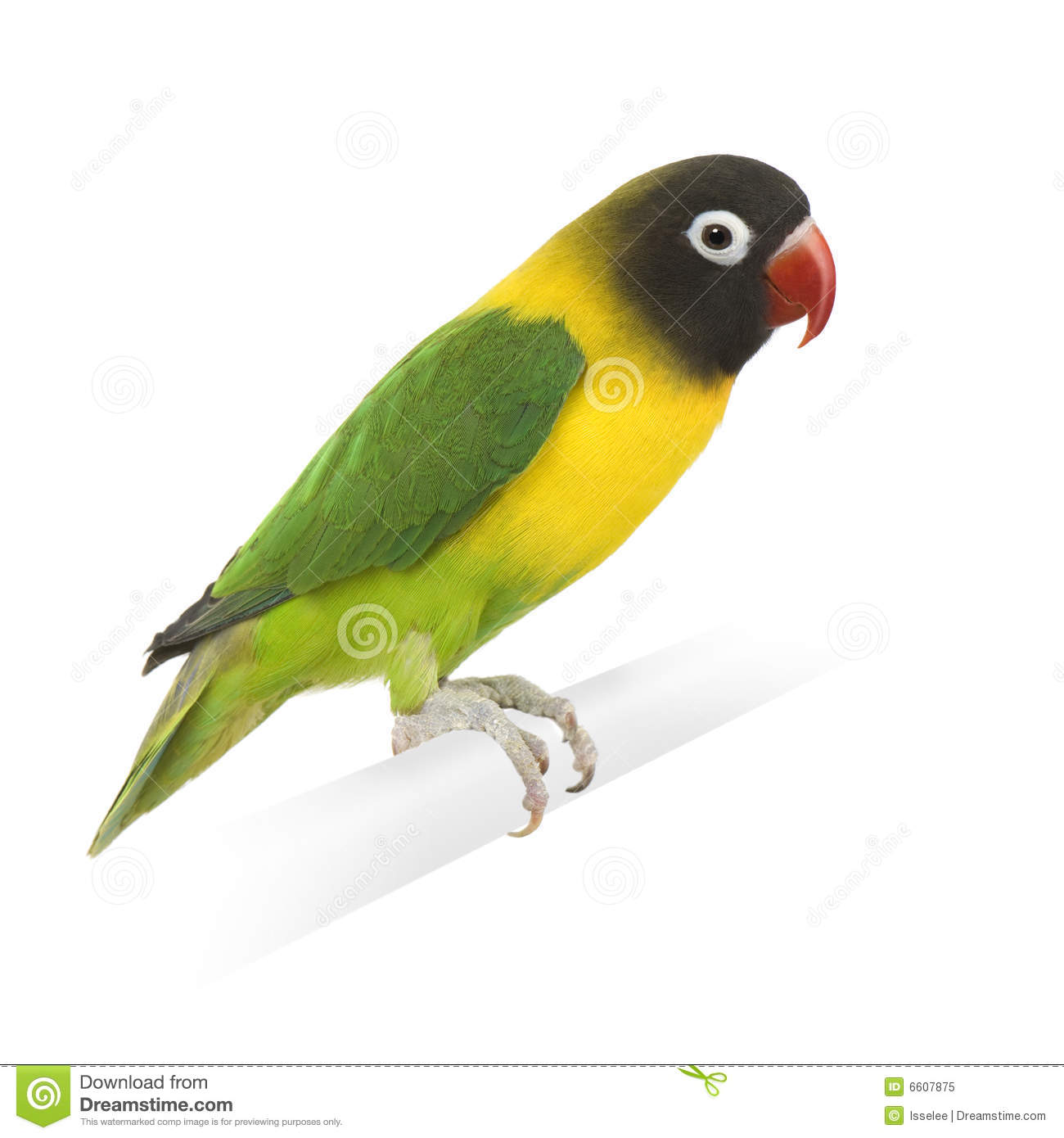 Agapornis Lovebird Personata Stock Photos, Images, & Pictures.