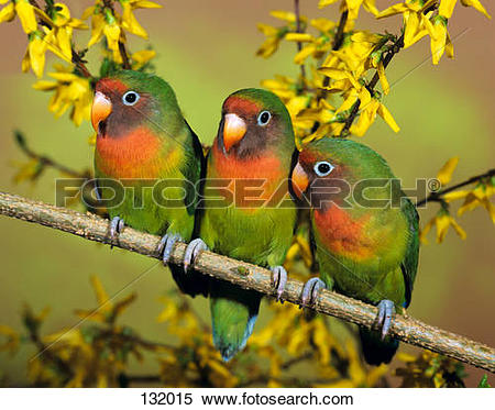 Stock Image of three Fischer's Lovebirds on twig / Agapornis.