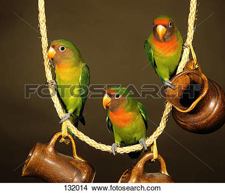 Stock Photo of three Fischer's Lovebirds on rope / Agapornis.