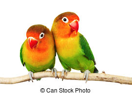 Agapornis Images and Stock Photos. 747 Agapornis photography and.